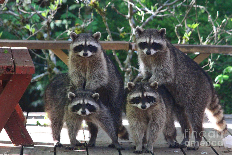 Animals Photograph - Cheerleading Raccoons by Kym Backland