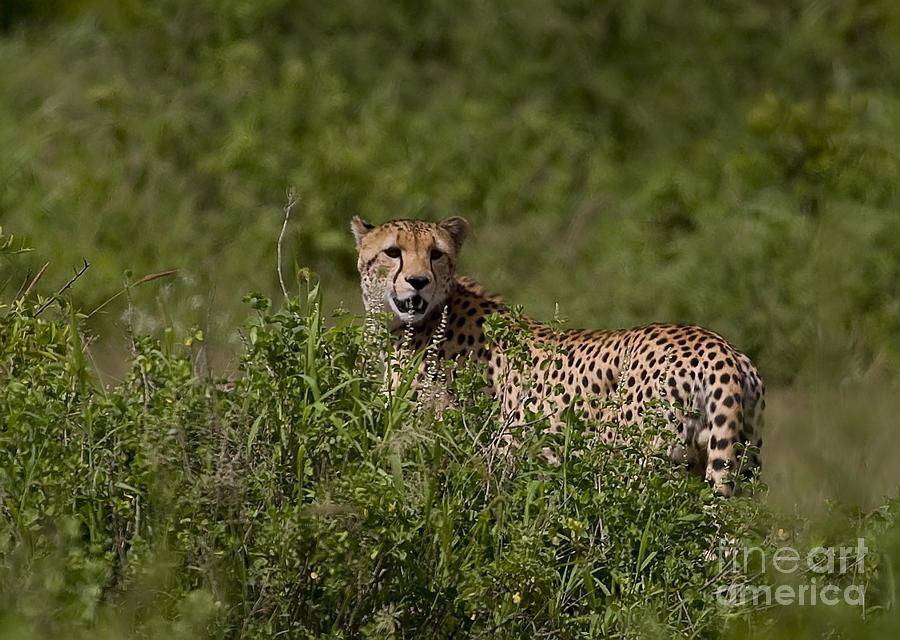 Acinonyx Jubatus Photograph - Cheetah   #0090 by J L Woody Wooden