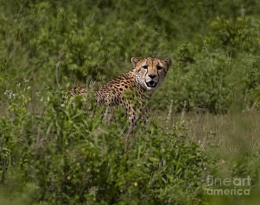 Acinonyx Jubatus Photograph - Cheetah   #0095 by J L Woody Wooden