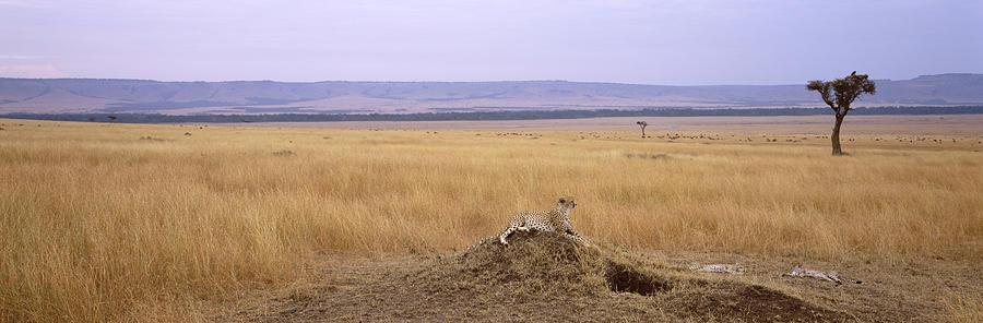 Horizontal Photograph - Cheetah Acinonyx Jubatus Sitting by Animal Images