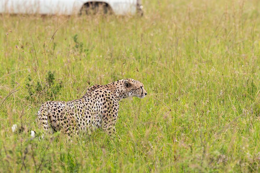 Cheetah And Safari Car At Masai Mara Photograph by 1001slide