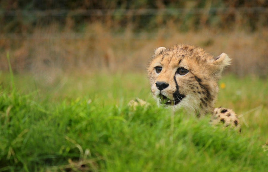 Cheetah Cub by Sarah Broadmeadow-Thomas