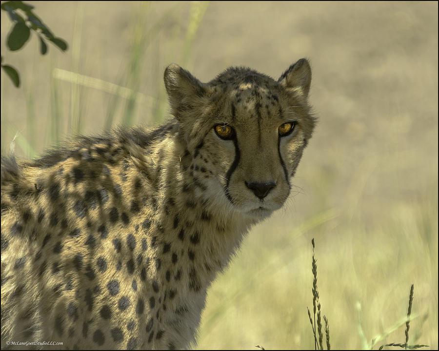 Cheetah Photograph - Cheetah Gaze by LeeAnn McLaneGoetz McLaneGoetzStudioLLCcom