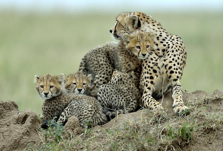 Cheetah Photograph - Cheetah by Giuseppe D\\\amico