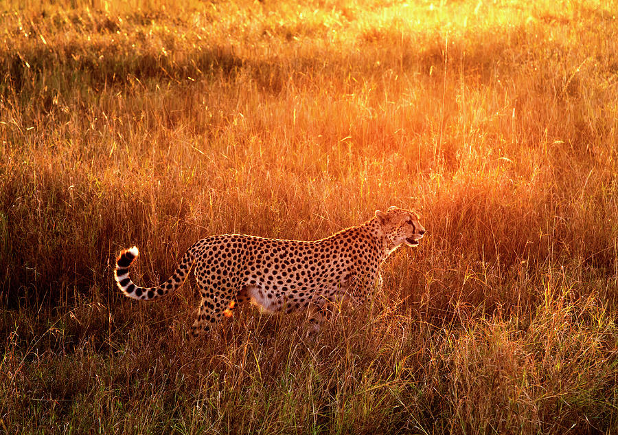Cheetah In The Grass At Sunrise Photograph by Mike Hill