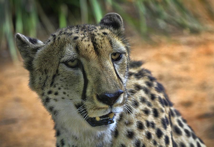 Animal Photograph - Cheetah by Kim Andelkovic