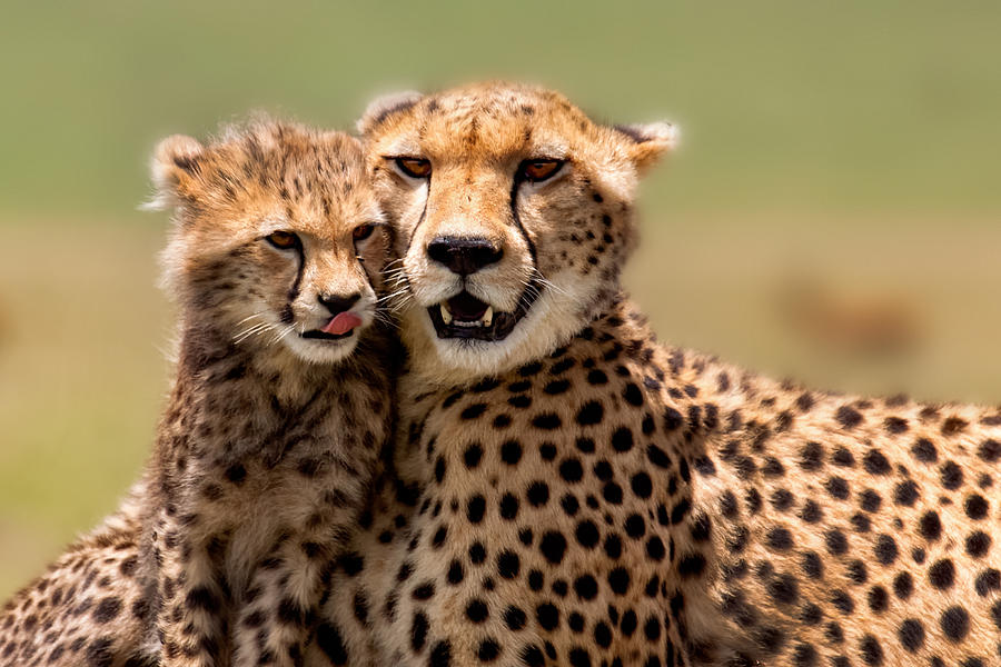 Portrait Photograph - Cheetah Mother And Cub In Masai Mara by Maggy Meyer