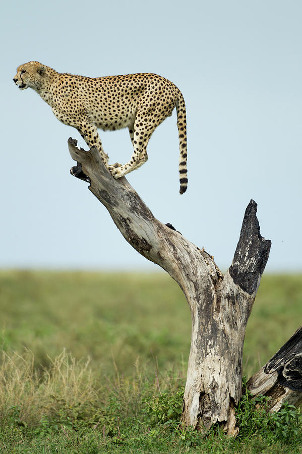 Cheetah, Ngorongoro, Tanzania Photograph by Paul Souders