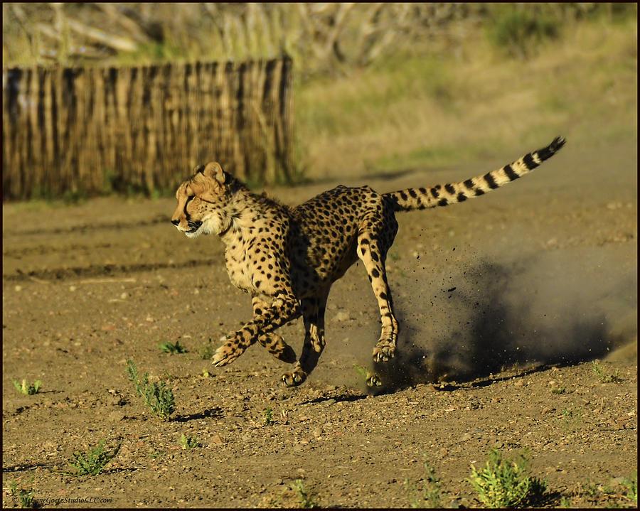 Cheetah Photograph - Cheetah On The Run by LeeAnn McLaneGoetz McLaneGoetzStudioLLCcom