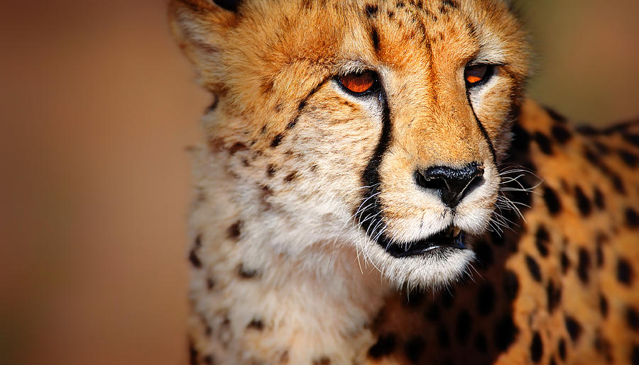 Cheetah Photograph - Cheetah portrait by Johan Swanepoel