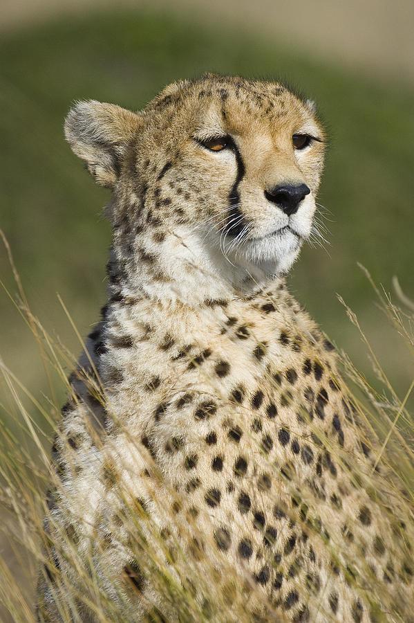https://images.fineartamerica.com/images-medium-large-5/cheetah-portrait-masai-mara-kenya-suzi-eszterhas.jpg