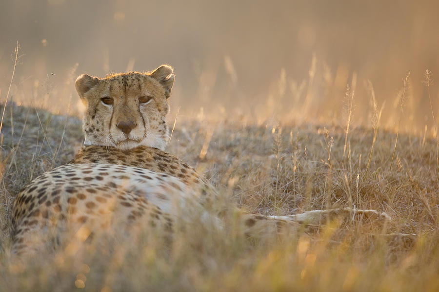 Safari Photograph - Cheetah Prepares To Sleep by Richard Berry