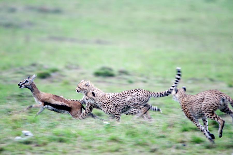 Horizontal Photograph - Cheetahs Acinonyx Jubatus Chasing by Animal Images