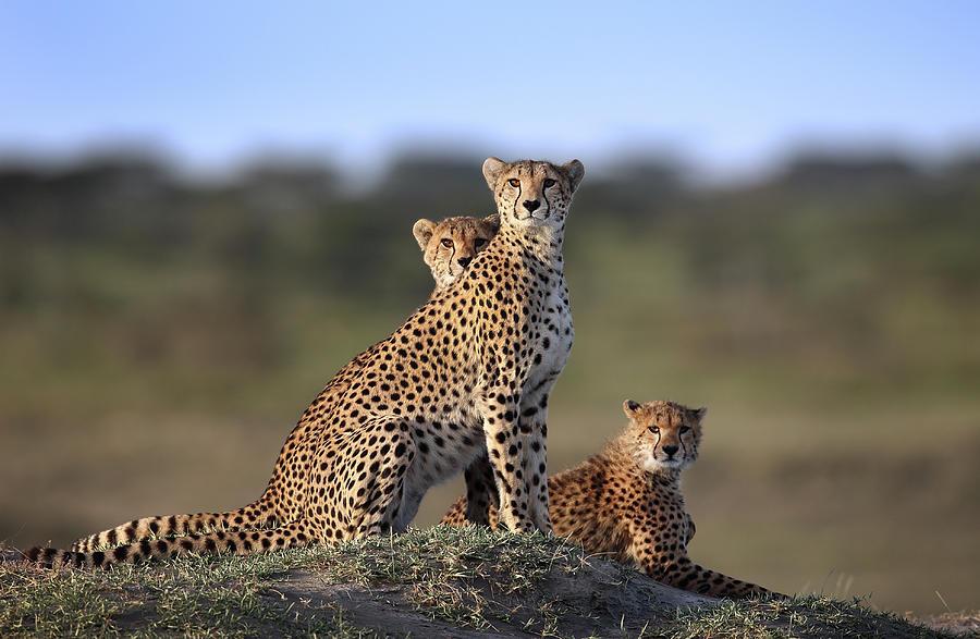 Friendship Photograph - Cheetahs Family by Sultan Sultan Al