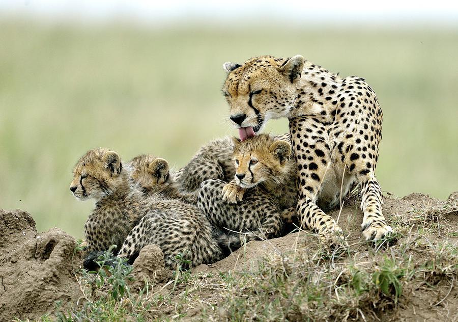 Wild Photograph - Cheetahs by Giuseppe D\\\amico
