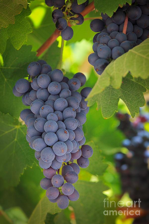 America Photograph - Chelan Blue Grapes by Inge Johnsson