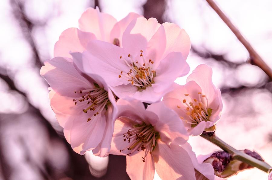 Apple Photograph - Cherry Blosom. by Slavica Koceva