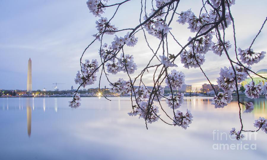 Cherry Blossom Dawning Photograph