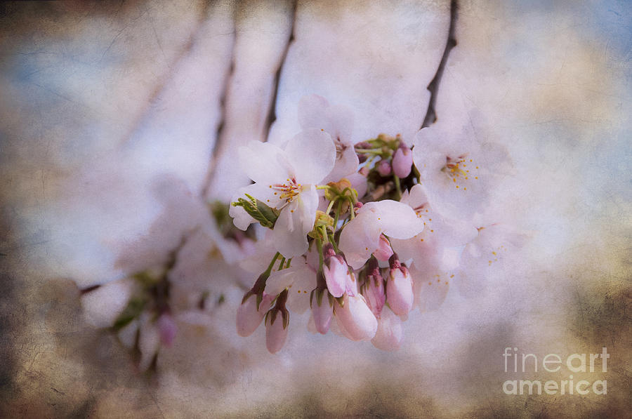 Cherry Photograph - Cherry Blossom Dreams by Terry Rowe