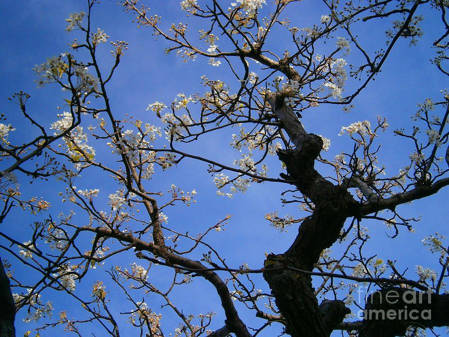 Cherry Photograph - Cherry Blossom by Drew Shourd