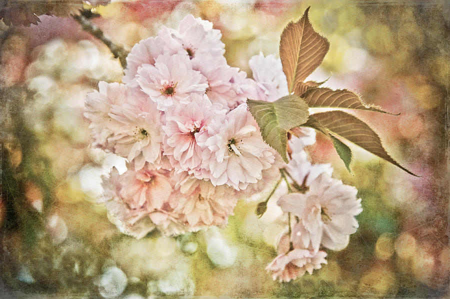Photo Photograph - Cherry Blossom by Loriental Photography