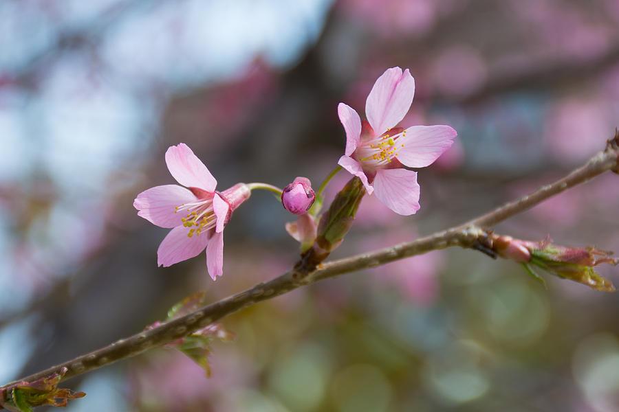 Cherry Blossom Photograph - Cherry Blossom Against Green Background by Priyanka Ravi