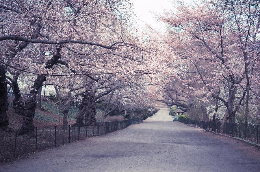 Cherry Blossom Path Central Park Springtime Photograph