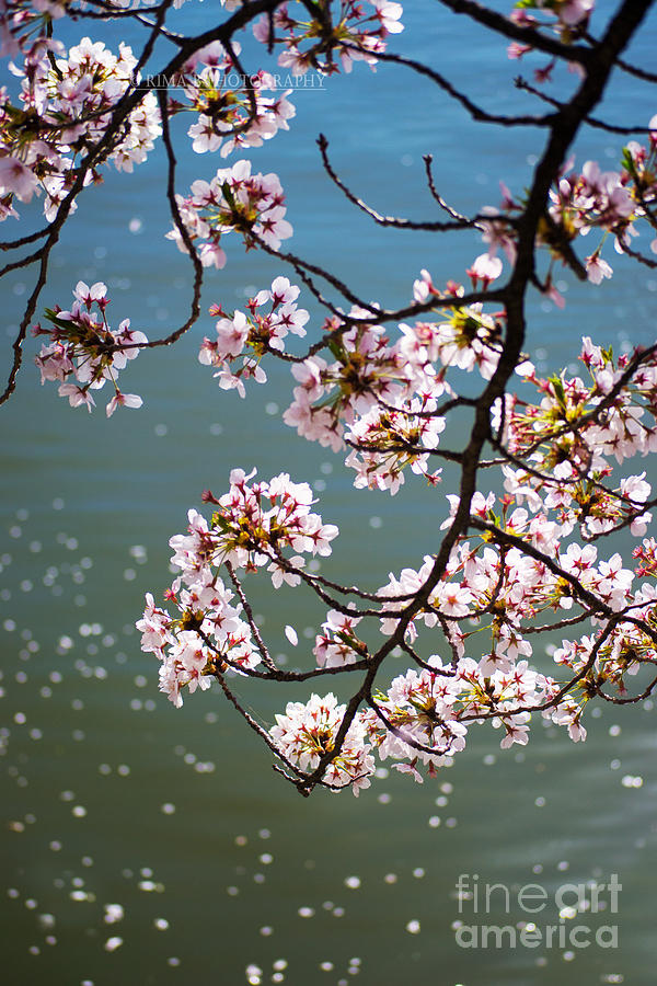 Cherry Blossom by Rima Biswas
