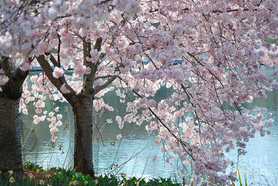 Cherry Blossom Photograph - Cherry Blossom by Robin Hassler