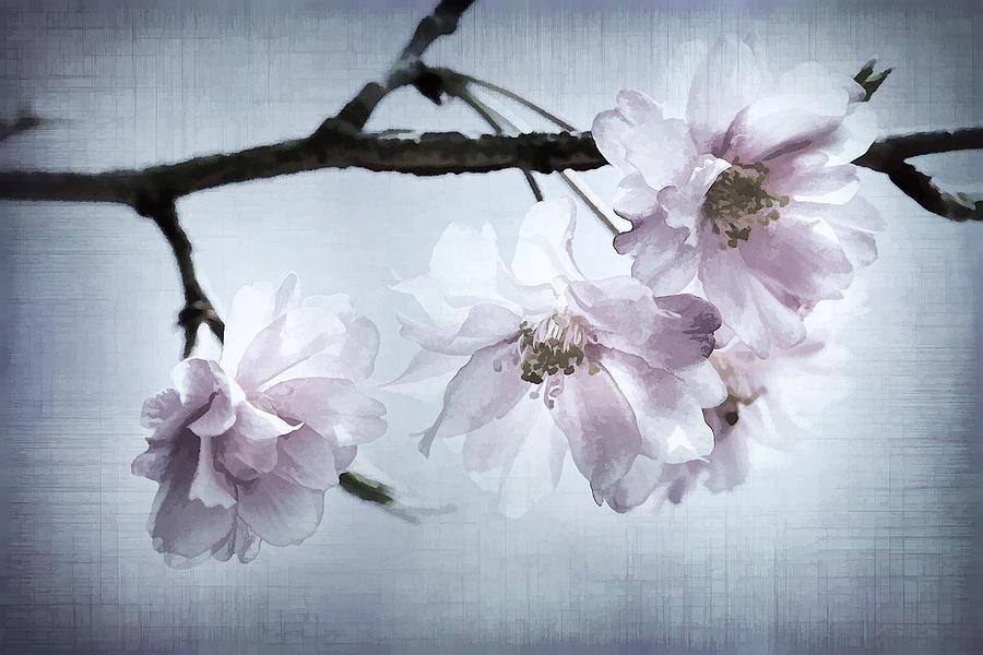 Cherry Photograph - Cherry Blossom Sweetness by Kathy Clark