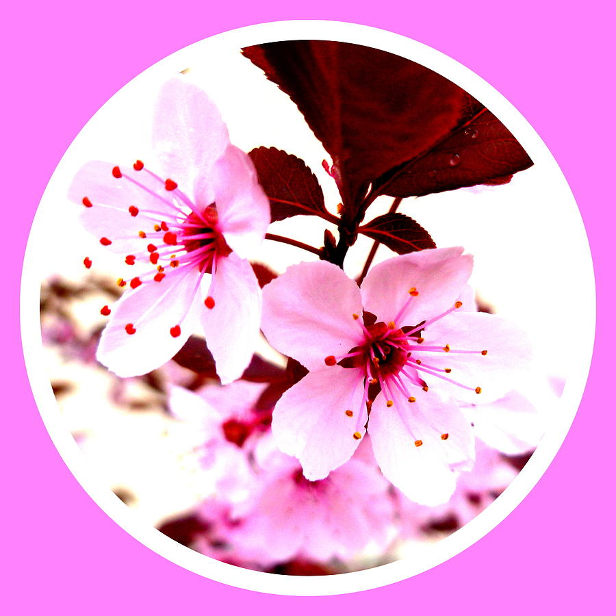 Macro Photograph - Cherry Blossom by The Creative Minds Art and Photography
