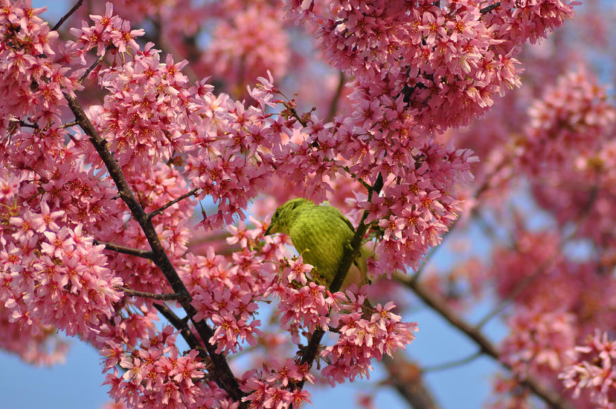 Cherry Blossom Time Photograph - Cherry Blossom Time by Bill Cannon