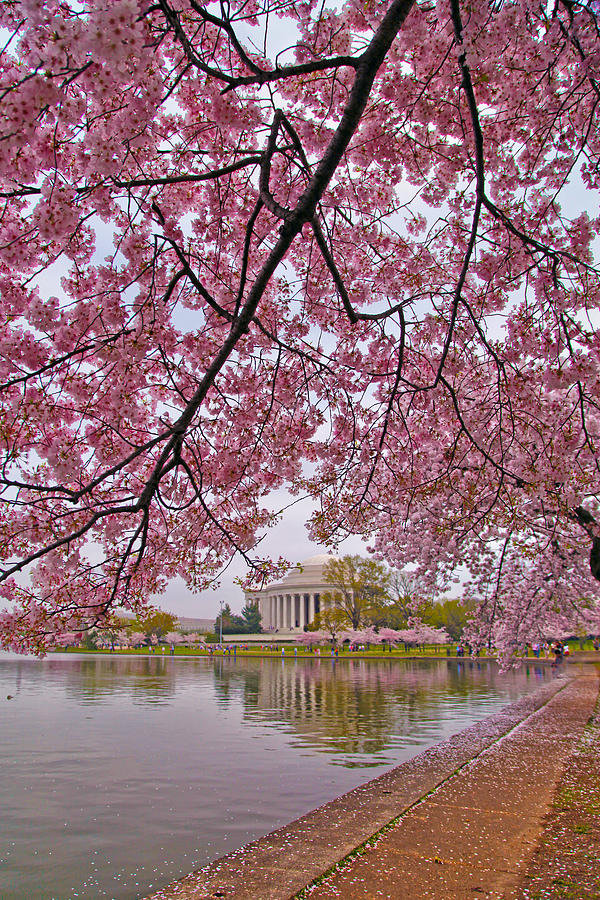 Cherry Blossoms Photograph - Cherry Blossom Tree by Mitch Cat