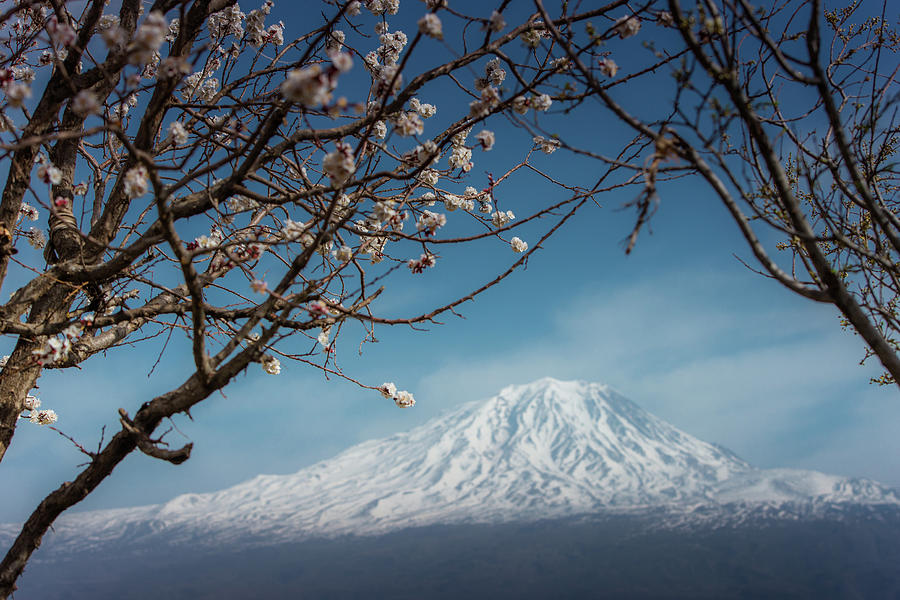 Cherry Blossom With Background Of Mt Photograph by Coolbiere Photograph