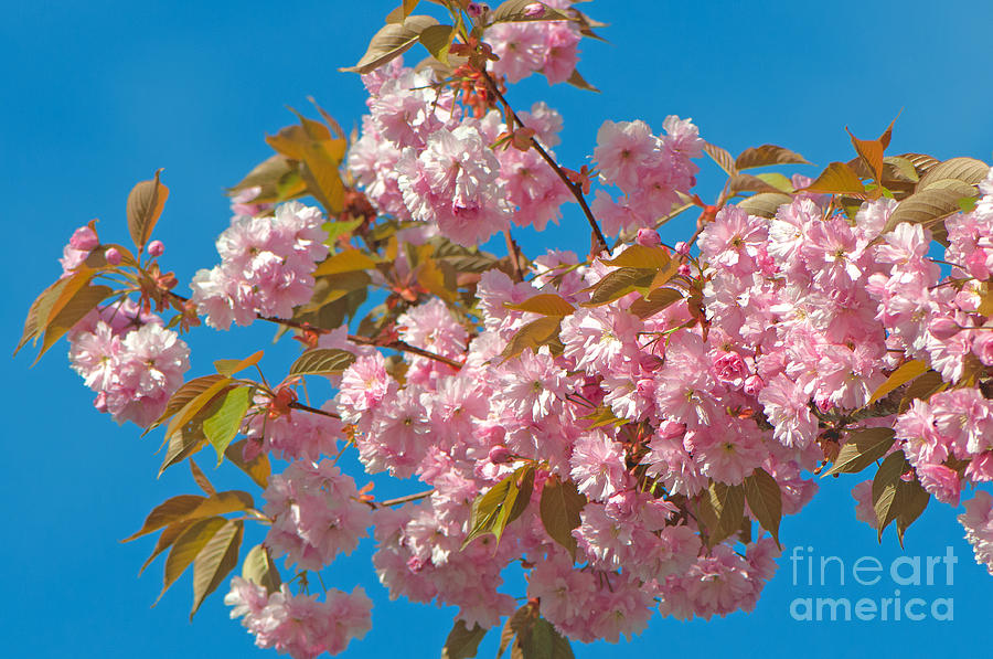 Cherry Blossoms Photograph - Cherry Blossoms 2 by Sharon Talson