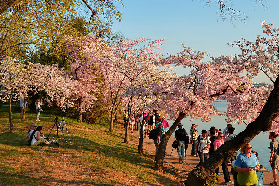 Architectural Photograph - Cherry Blossoms 2013 - 007 by Metro DC Photography