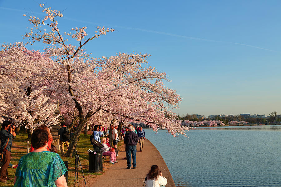 Architectural Photograph - Cherry Blossoms 2013 - 010 by Metro DC Photography