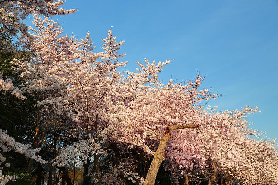 Architectural Photograph - Cherry Blossoms 2013 - 019 by Metro DC Photography