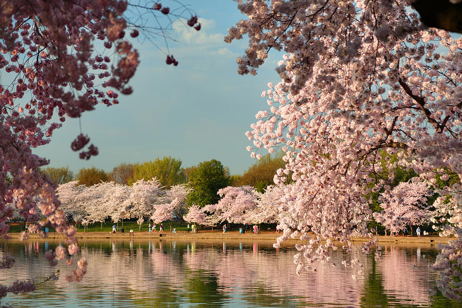 Architectural Photograph - Cherry Blossoms 2013 - 023 by Metro DC Photography
