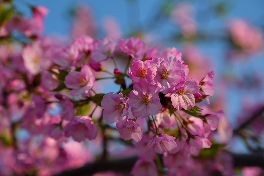 Architectural Photograph - Cherry Blossoms 2013 - 031 by Metro DC Photography