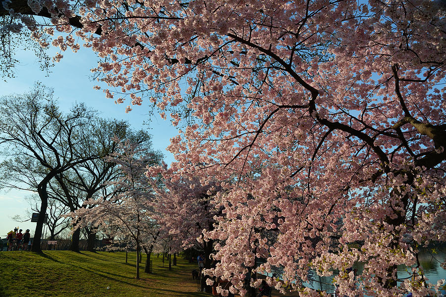 Architectural Photograph - Cherry Blossoms 2013 - 038 by Metro DC Photography