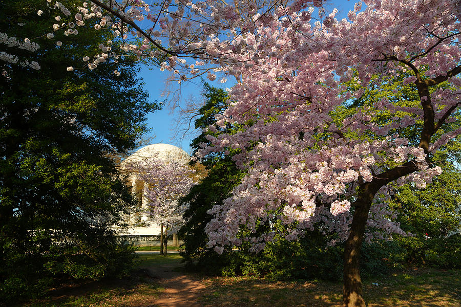 Architectural Photograph - Cherry Blossoms 2013 - 047 by Metro DC Photography