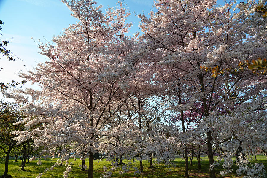 Architectural Photograph - Cherry Blossoms 2013 - 049 by Metro DC Photography