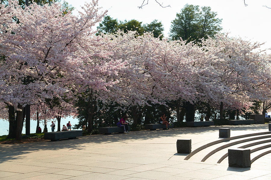 Architectural Photograph - Cherry Blossoms 2013 - 059 by Metro DC Photography