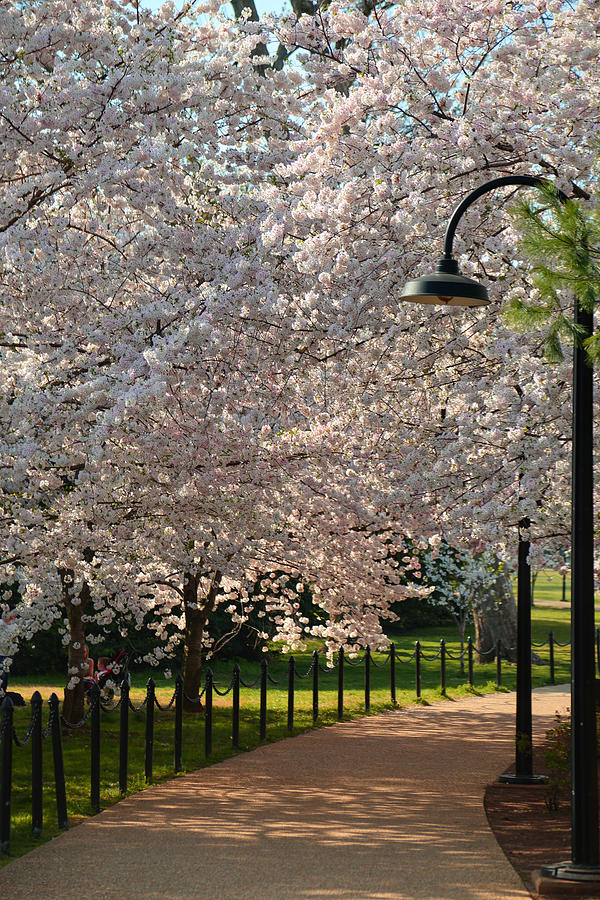 Architectural Photograph - Cherry Blossoms 2013 - 060 by Metro DC Photography