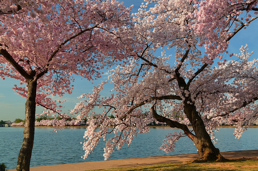 Architectural Photograph - Cherry Blossoms 2013 - 063 by Metro DC Photography
