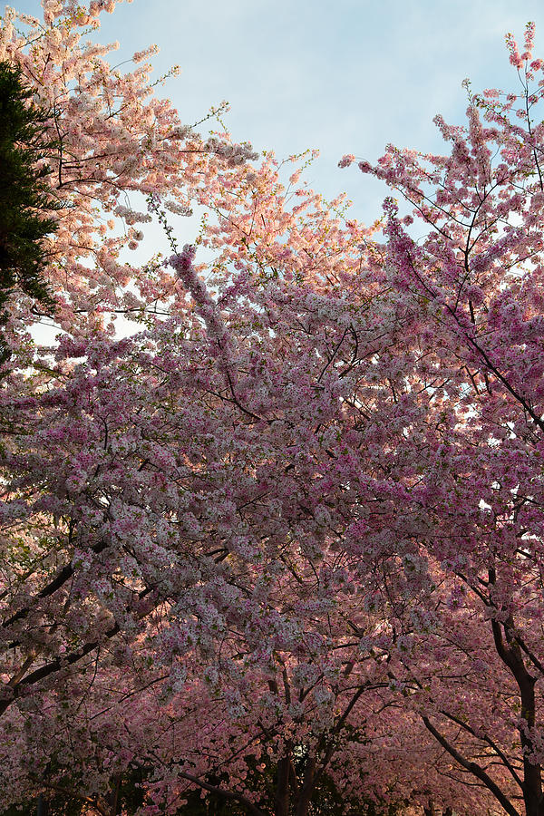 Architectural Photograph - Cherry Blossoms 2013 - 065 by Metro DC Photography
