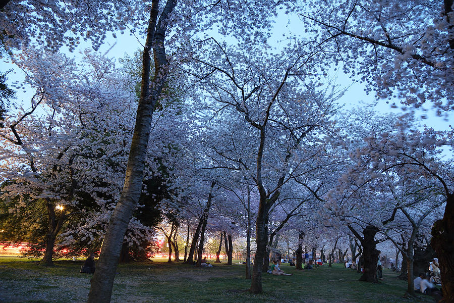 Architectural Photograph - Cherry Blossoms 2013 - 100 by Metro DC Photography