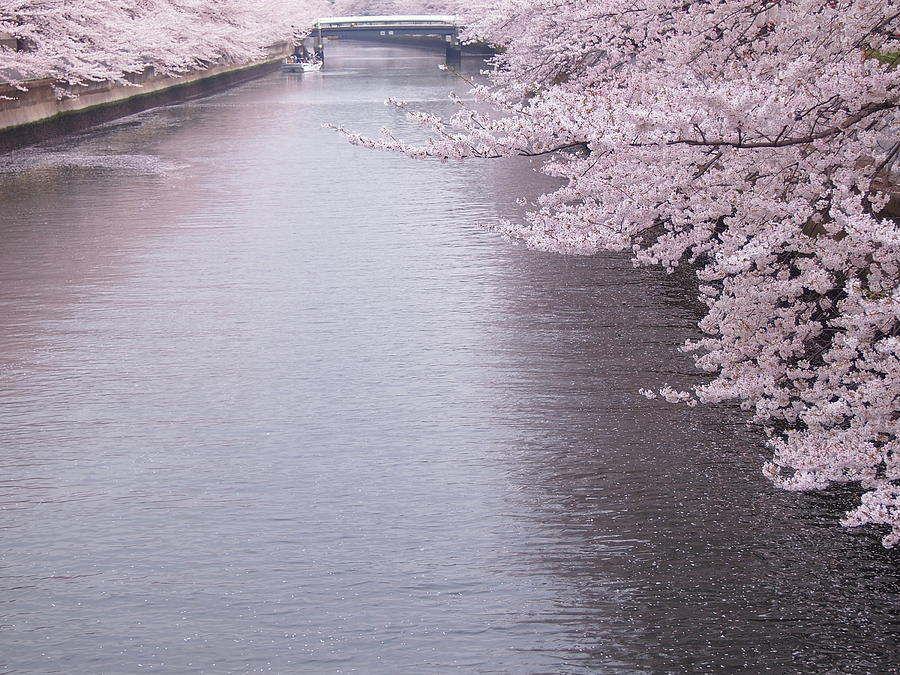 Cherry Blossoms Along A River Photograph by Neconote