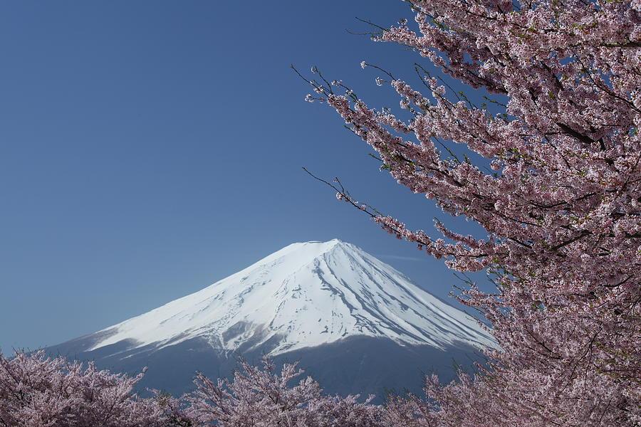 Cherry Blossoms And Mt. Fuji At Lake Photograph by Fuminana